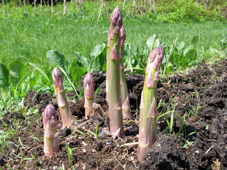 Growing-your-own-asparagus