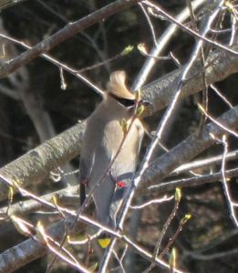 Close up of the waxwing. i see them in March and April and then not again for another year.