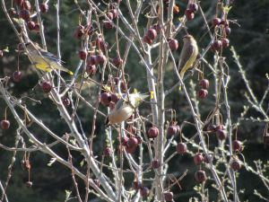 Cedar Waxwings...a beautiful, sculptured bird descend upon a 'wildlife crab' and devour its apples