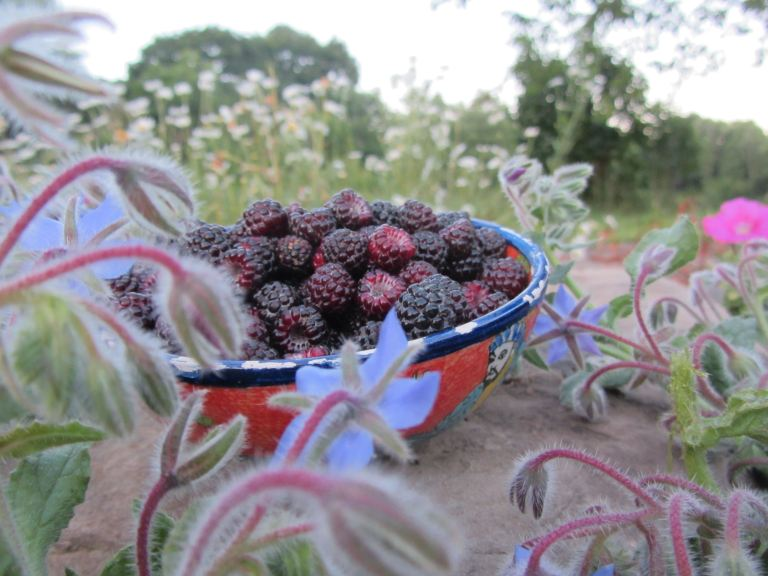 raspberries in borage