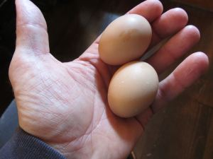 Imagine reaching into a nesting box and feeling not one, but two eggs. Two of your very first!