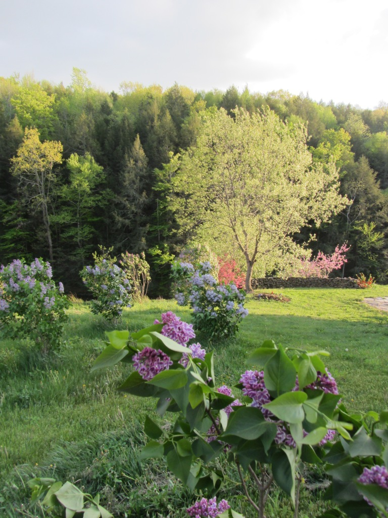 move to the country lilacs stone wall and apples - 1