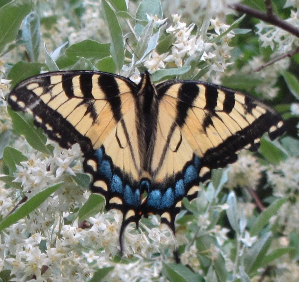 Swallow tail butterfly close up alights on a wild olive branch