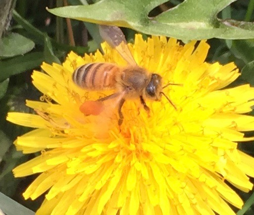 farm may 10th bee on dandelion - 1