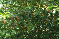 Wildloose montmorency cherry