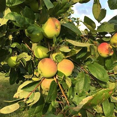 wildloose apples july