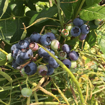 Wildloose blueberries clump
