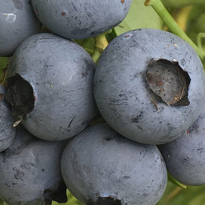 wildloose blueberries