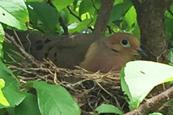 Wildloose dove-1