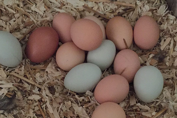 wildloose eggs