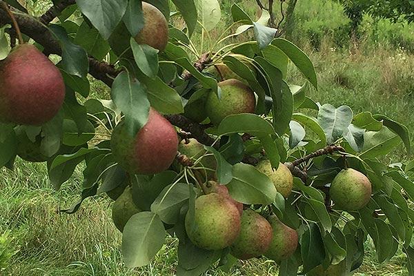 wildloose pears