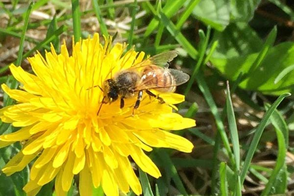 wildloose bee on dandelion