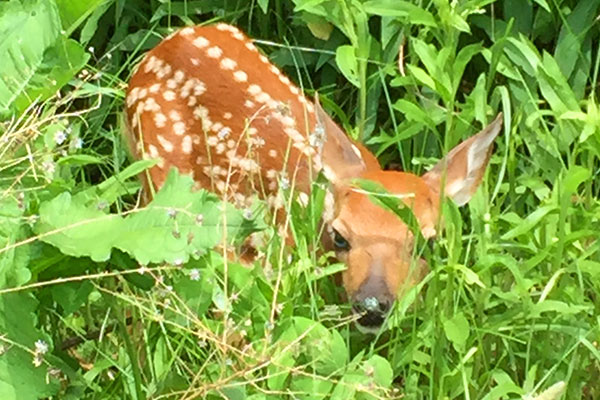 Wildloose fawn