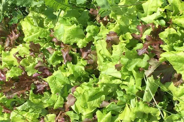 wildloose lettuce