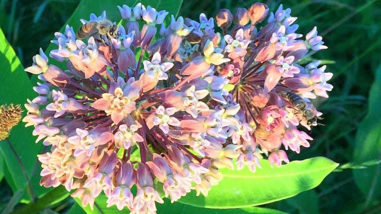 wildloose milkweed