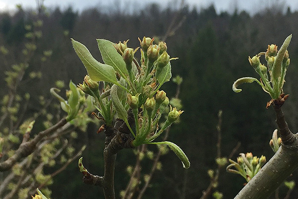 wildloose pear blossom