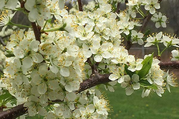 wildloose plum blossoms