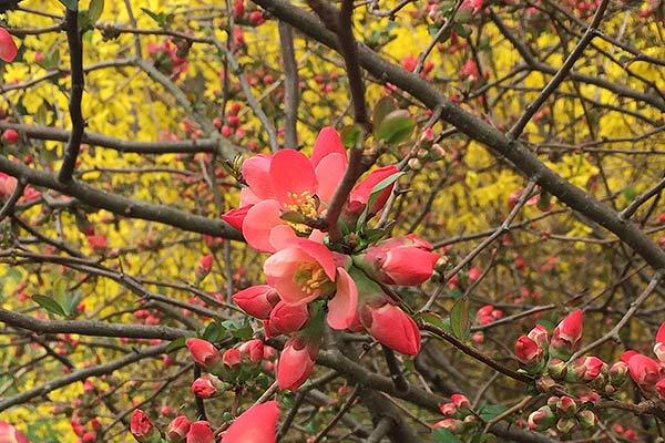 wildloose quince