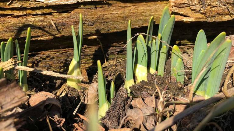 wildloose daffodils